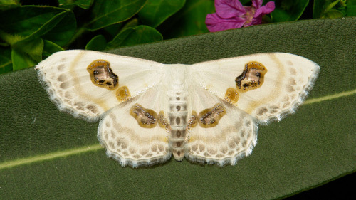 Eye Looper Moth (Problepsis vulgaris, Sterrhinae, Geometridae)   by Sinobug (itchydogimages) on Flickr. Pu'er, Yunnan, China  See more Chinese moths on my Flickr site HERE…..