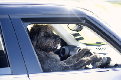 laughingsquid:  Rescue Dogs Are Taught How To Drive Cars To Show Their Intelligence  Dogs and cats driving cars… Mass hysteria!