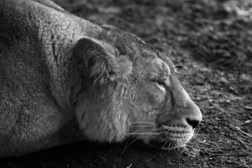 Sleepy lioness staying out of the rain