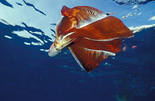 Another blanket octopus!