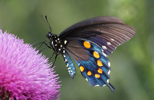 Pipevine Swallowtail by DrPhotoMoto on Flickr.iainyork
