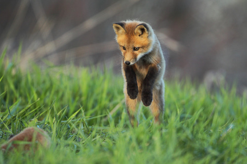 Via MadnessReigns & Piccsy :: Little Fox By Denis Dumoulin.