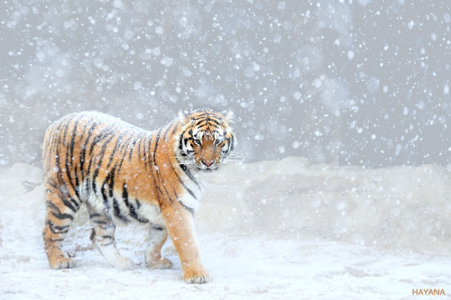 wild-earth:  Tiger of winter