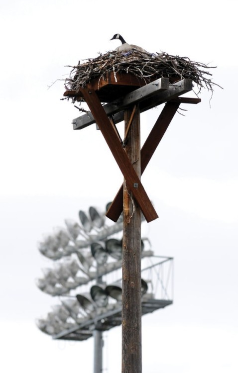 Goose claims nest at Missoula baseball stadium, leaving osprey homeless