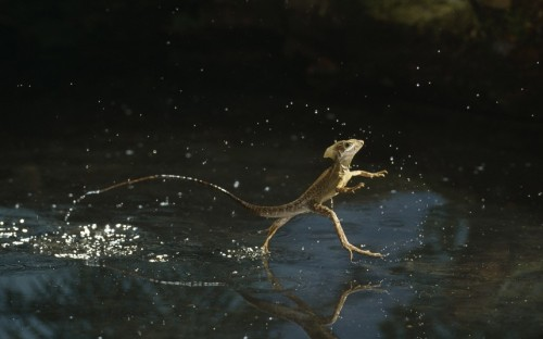 allcreatures:   … Basilisk lizard running across water at up to five miles per hour  Picture: Stephen Dalton/Photoshot/Solent News (via Pictures of the day: 1 February 2013 - Telegraph)