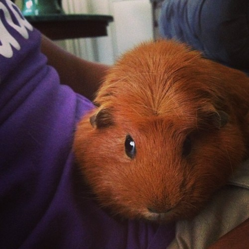 "Oh Rhonda.. * My Niece & Nephew have a pair of great Guinea Pigs ""Rhonda & Katut"""