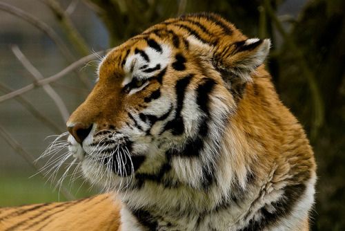 Amur Tiger by Keith in Southampton on Flickr.