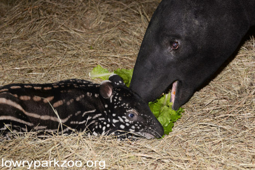 What do tapirs eat?
