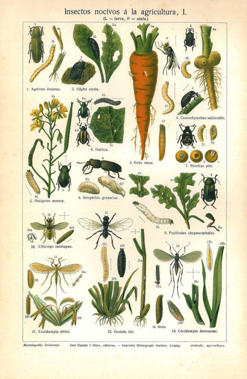 1923 Harmful Insects Agriculture Pests Color Lithograph Gardening at CarambasVintage http://etsy.me/Yqfuuz