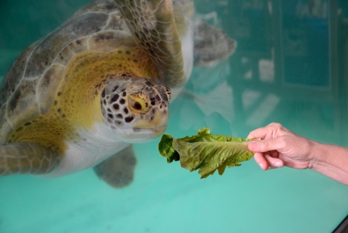 "ask-the-lonestar:  ""Gerry the Green Sea Turtle is tempted by a lettuce leaf at Sea Turtle, Inc. in South Padre Island, South Texas""  Sometimes I think Gerry is going to have his revenge on all y'all for always tricking him with those greens. He just wants to eat and swim, wtf?  #GerrysVengence"
