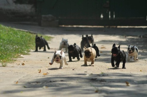 dannybrito:  oaksandroses:  THE CUTEST RUNNING OF THE BULLS EVER  OMG