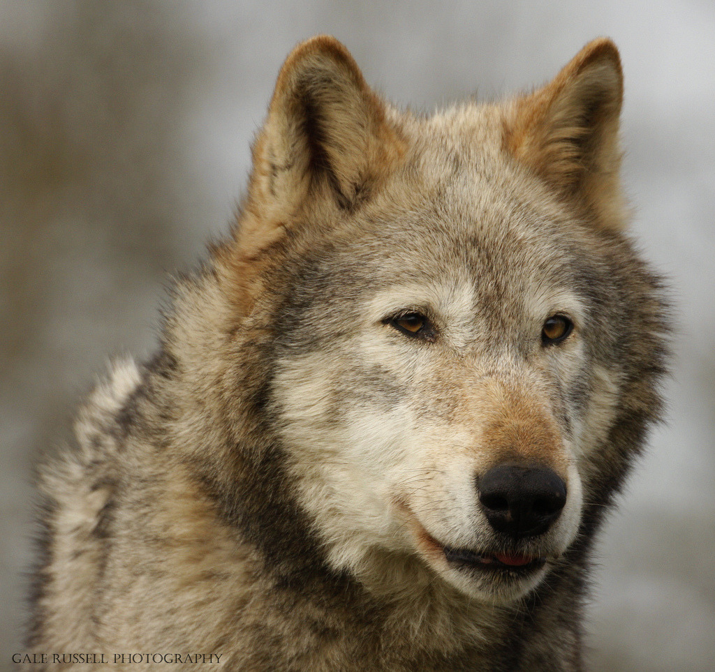 brutalgeneration:  Wolf (by ~Klaw~)