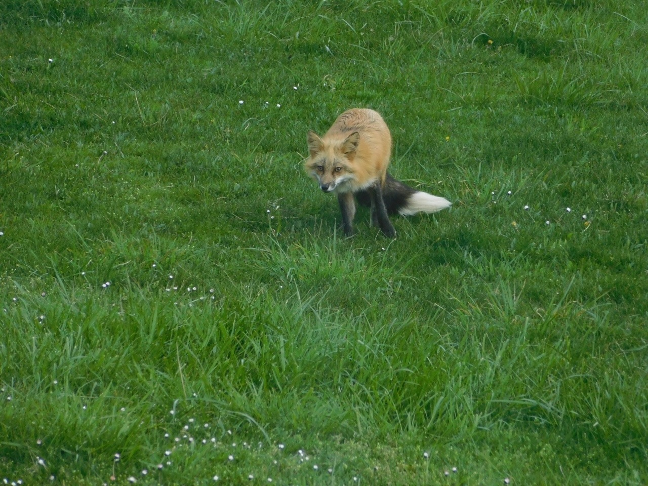there u0027s a family of foxes in the backyard of our modern tips