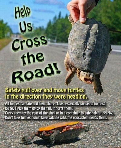 encyclopedophile:  rhamphotheca:  Help Our Turtle Friends!!!  one time i was in the car with my dad, and a snapping turtle was on the road. he tried to get near it, and it tried to bite him, so we just respectfully waited for it to pass, before we drove on.