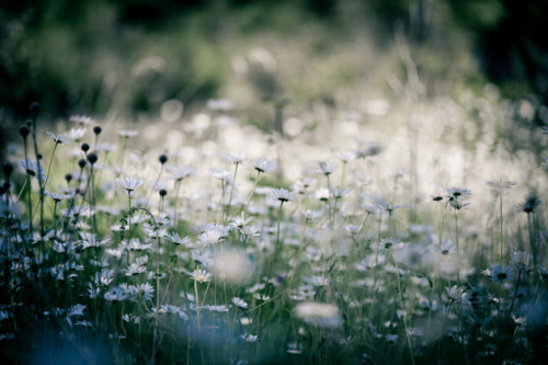 mykindafairytalee:  daisies by angies on Flickr.