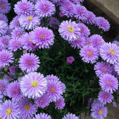 peter-iii-blue-love-this-aster-at-garden-center