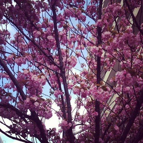 Paris in bloom #spring