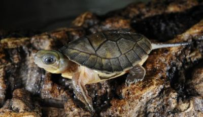 (via Bronx Zoo Hatches Extremely Rare Yellow-headed Box Turtles - ZooBorns)
