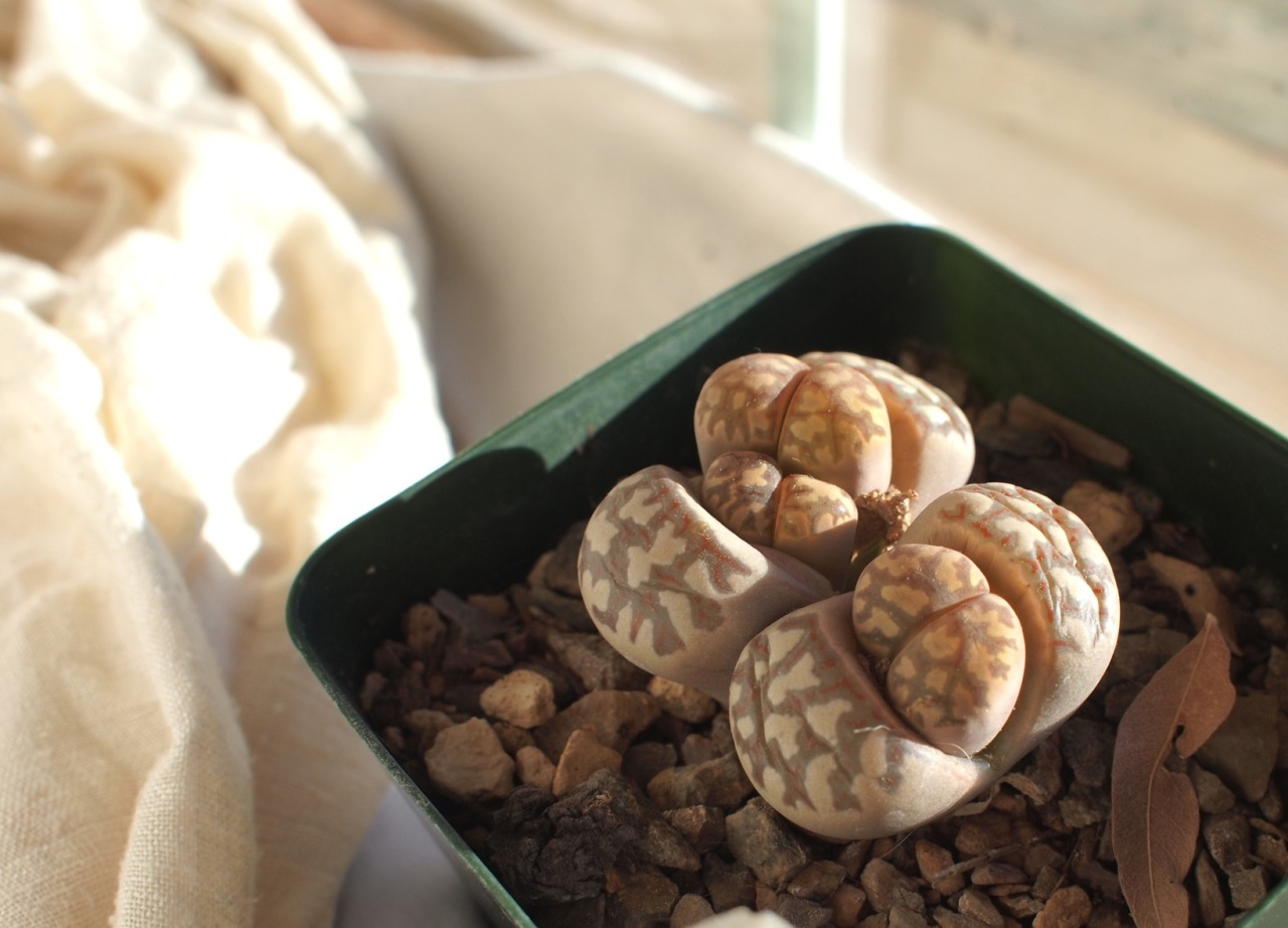 Little Lithops growing quickly.
