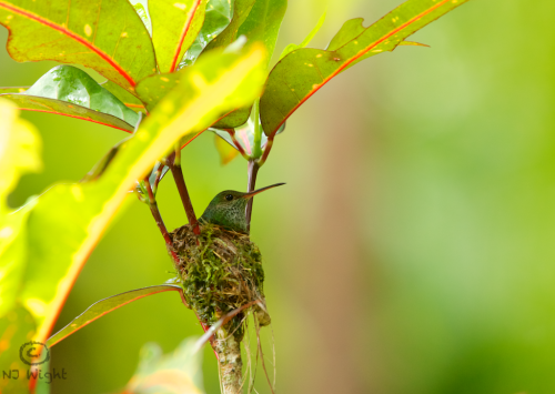 njwight:  Incredible moment catching this rufous tailed hummingbird sitting in her nest. She builds the nest with moss, leaves and spiderwebs and covers the outside with lichen and bark. She will lay 2 eggs and will incubate them for about 15-18 days. Very special sighting!