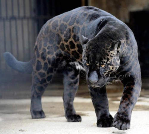 opcion:  A black panther is typically a melanistic color (by Reza Ahmeds)