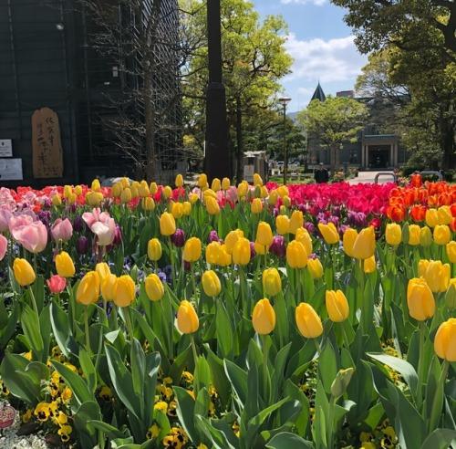tulips u.u