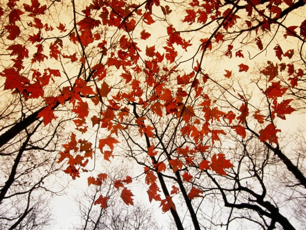 whodesignedit:  Bare Branches and Red Maple Leaves Growing Alongside the Highway by Raymond Gehman This photo print by Raymond Gehman would make a great centerpiece or accent piece for any room. You can get it in a variety of sizes and styles at Art.com.