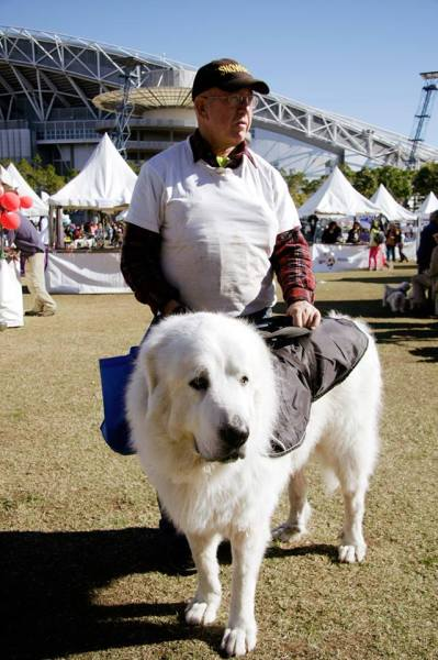 espyy:  On Sunday at the RSPCA Million Paws Walk in Olympic Park, I got to hang out with this 4 year old Great Pyrenees pup, who before this photo actually had a giant BIB around his neck because he drools so much. His shoulders came up to my bellybutton and I think his owner mentioned that he was about 55-60kgs.   PUPPPYYYYYY
