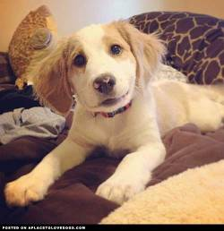 This cute little dog with the goofy little smile is Duncan, a Beagle and Springer Spaniel mix Via @monica_janeee For more cute dogs and puppies