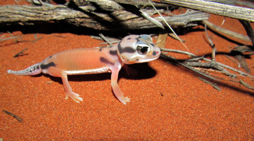 Pale Knob-tailed Gecko (Nephrurus laevissimus), Uluru, Northern Territory, Australia (photo: Matt Clancy)