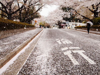 dreams-of-japan:  花吹雪 / A shower of blossoms by funkgirldeluxe on Flickr.   P