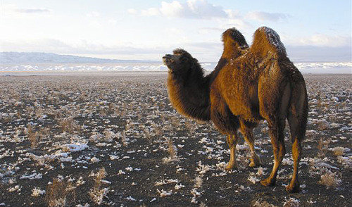 I like how the camel's winter fur is so thick, snow is just sitting on top of its hump, not melting.