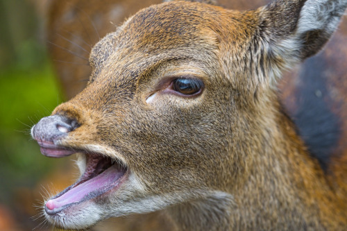 Deer with open mouth (by Tambako the Jaguar)