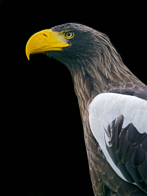 thepredatorblog:  Stellers sea eagle (by Tambako the Jaguar)
