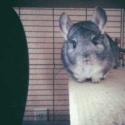 This fattie ♥ #chinchilla #chinzilla #stickshift #solardishears #tinypaws #fluffy #sofluffyImgoingtodie #mybaby #mrevelo #photography