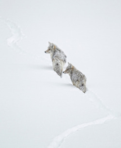 nature-madness:  Winter Coyotes | Ignacio Yúfera