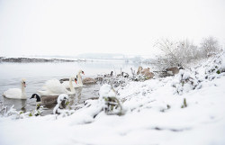 Swans and geese feed on the snow-covered banks of the River Trent Photograph: Laurence Griffiths/Getty Images
