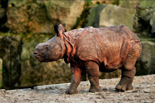 animals-animals-animals:  Indian Rhino (by Svenimal)