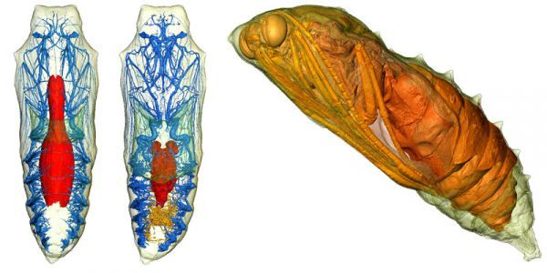 See Inside a Butterfly Chrysalis   Just like everyone else, you learned about how a caterpillar turns into a butterfly (or moth) inside a chrysalis (or cocoon) and you desperately tried to envision what happens inside and what it looks like. Scientists who've opened a lot of chrysalises will tell you the caterpillar turns to goop and then a butterfly, but that's not completely accurate, and the process of opening one destroys the structure anyway.