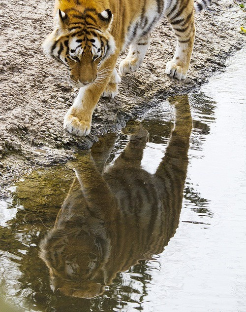 dream-of-the-tiger:  Mirroring. Photo by Frank Schmidt