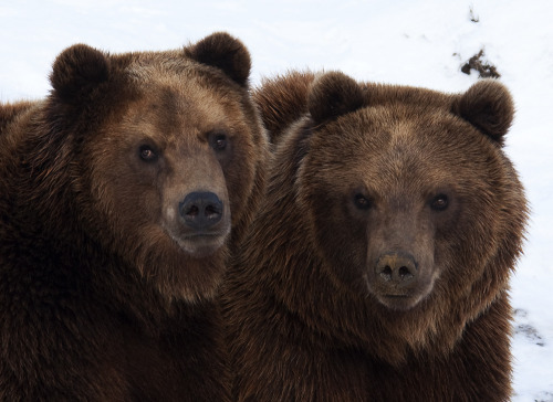 llbwwb:  Kamschatka Bears (by pe_ha45)