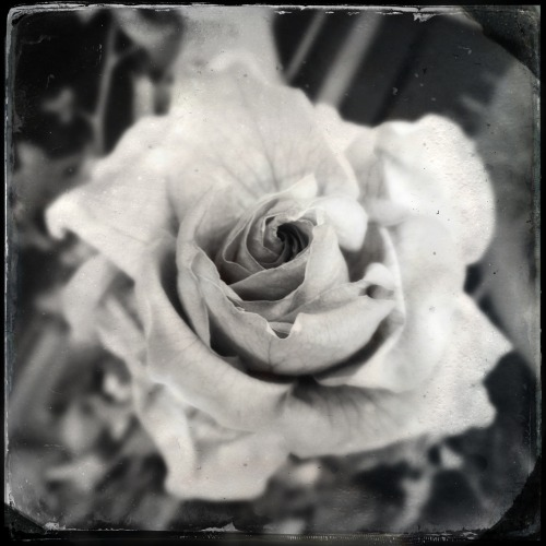 The last rose from summer. #rose #flower #iphone #iphonography