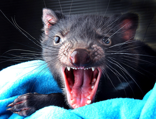 guardian:  A 10-month-old Tasmanian Devil joey pays its first visit to the vet for health checks at Healesville Sanctuary, Melbourne, Australia.  From picture desk: live, our photo coverage of the day's events in the UK and around the world Photograph: Robert Leeson/Newspix/Rex Features  Terrified.
