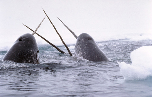 meltingboy:  My friend Dan thought narwhals were mythological creatures