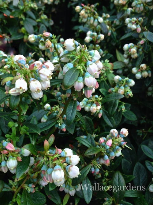 Vaccinium 'Sunshine Blue' (Southern Highbush Blueberry)  This beautiful compact blueberry bush is ideal for hot, humid climates, and works well when planted in a large container. Afternoon shade is suggested in regions with particularly hot summers (Georgia, for example). Blueberry bushes are good companions for other shade-loving plants like azaleas, rhododendrons and hydrangeas in a woodland border garden where the soil is naturally acidic.    Although blueberries are self-fertile, cross-pollination produces larger berries in abundance, so it's better to plant more than one variety that blooms at the same time to obtain the best crop. 'Sunshine Blue' is not an abundant berry-producer and may work better as an ornamental shrub. Spring flowers and fall leaf color are both superb.   Birds love blueberries, so unless you plan to grow them to attract wildlife, it's best to put some netting around the bush to protect it. 'Chandler' (late-season variety) is a larger cultivar producing cherry-size blueberries. Allow plenty of space for this one.  Blueberries are usually harvested mid-June to late-July, depending on the climate zone and the variety. To extend the harvest season, combine early, mid, and late season cultivars.