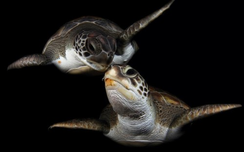 Two green turtles look as if they are kissing while swimming off the coast of Tenerife, Canary Islands Picture: Montse Grillo / Barcroft Media