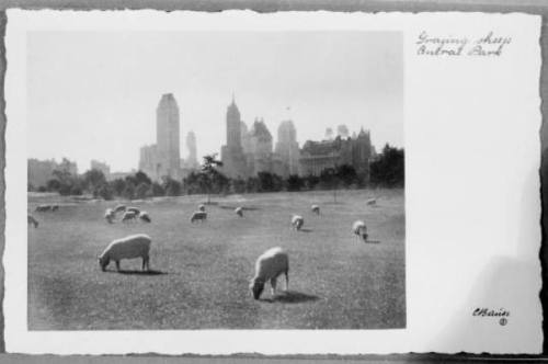 thisbigcity:  clawmarks:  Sheep Meadow Central Park  You just don't see enough sheep in modern cities. Except in Paris, where the city is using sheep as lawnmowers.