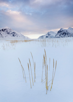 isawatree:  Snow grasses by Terry Gibbins