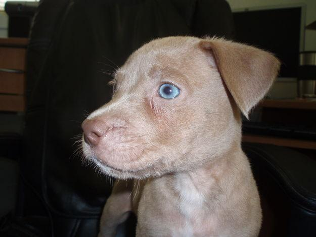 white red nose pitbull puppies with blue eyes eb