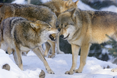 Interracting wolves by Tambako the Jaguar on Flickr.
